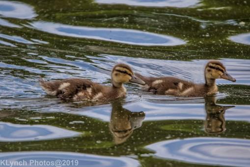 Ducklings_22