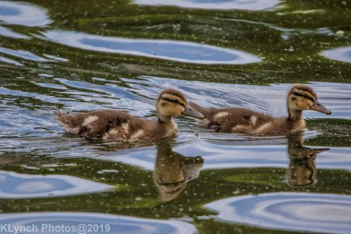 Ducklings_22