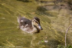 Ducklings_23