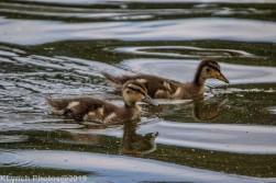 Ducklings_23