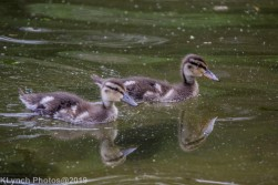 Ducklings_28