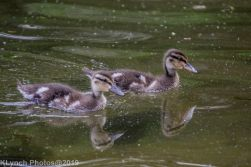 Ducklings_28