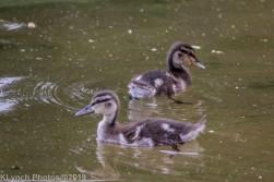 Ducklings_29