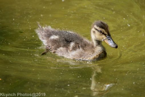 Ducklings_30