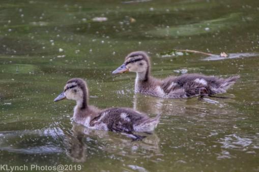 Ducklings_30
