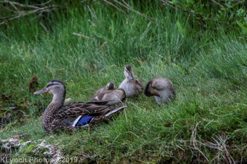 Ducklings_33