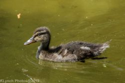 Ducklings_34