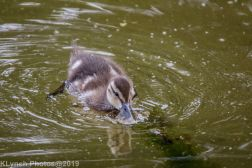 Ducklings_37