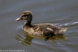 Ducklings_38