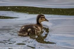 Ducklings_39
