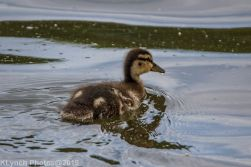 Ducklings_39