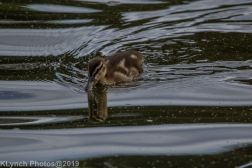 Ducklings_4