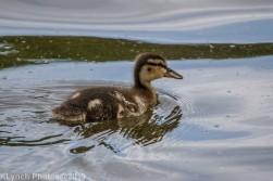 Ducklings_40