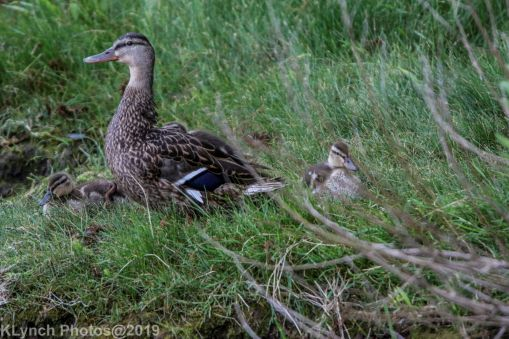 Ducklings_41