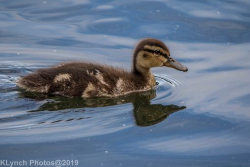 Ducklings_44