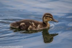Ducklings_45