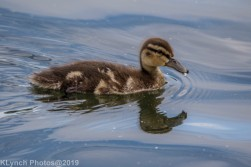 Ducklings_46