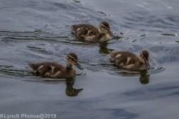 Ducklings_47