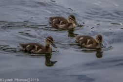 Ducklings_47