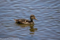 Ducklings_5
