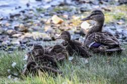 Ducklings_5