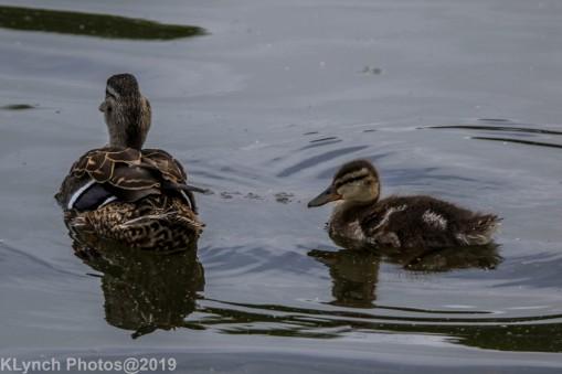 Ducklings_52
