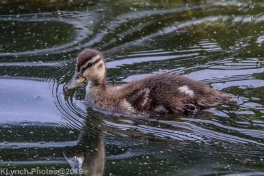 Ducklings_54