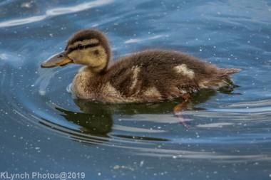 Ducklings_55