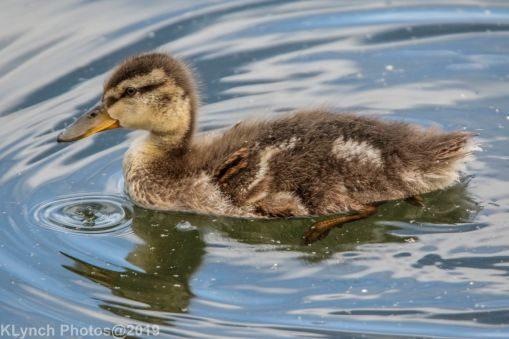 Ducklings_56
