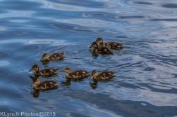 Ducklings_57