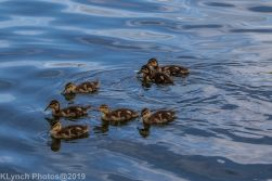Ducklings_57