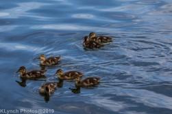 Ducklings_58