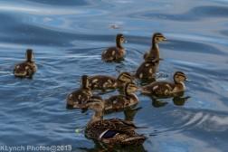 Ducklings_59