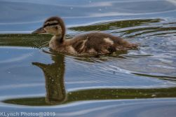 Ducklings_6