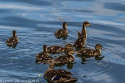 Ducklings_60