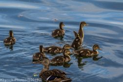 Ducklings_61