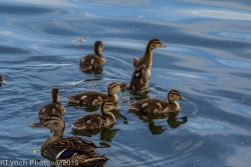 Ducklings_62