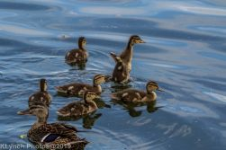 Ducklings_63