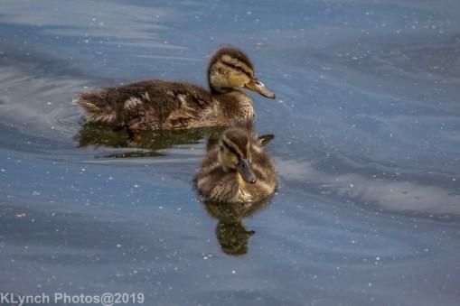 Ducklings_64