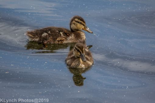 Ducklings_64