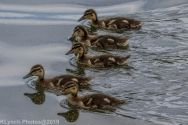 Ducklings_66
