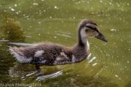Ducklings_67