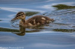 Ducklings_7