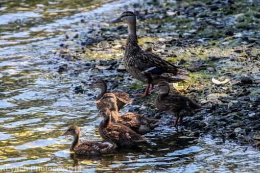Ducklings_8
