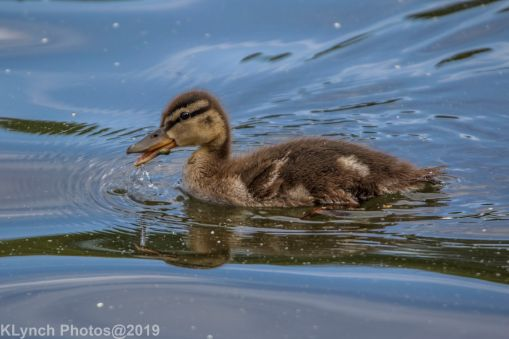 Ducklings_8