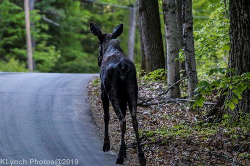 Moose_11