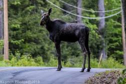 Moose_15