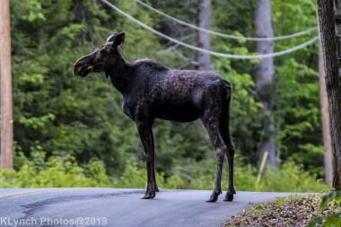 Moose_20