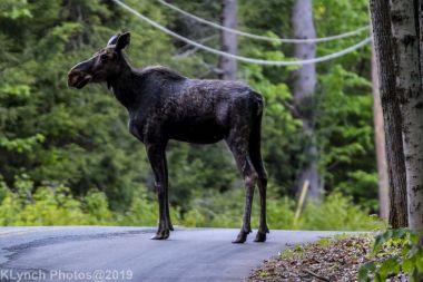 Moose_21