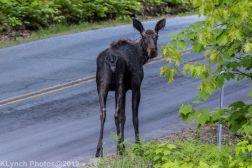 Moose_5